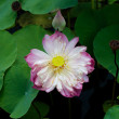 Water Lily — Stock Photo #13958101