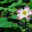 Water Lily — Stock Photo #13958139