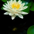 Yellow Water Lily — Stock Photo #13958299