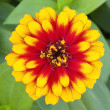 Yellow-orange marigold flower — Stock Photo #16291835