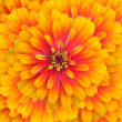 Zinnia flowers — Foto Stock