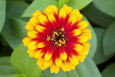 Yellow-orange marigold flower — Stock Photo