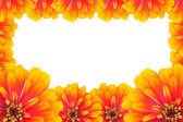 Frame of Zinnias flower — Stock Photo