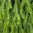 Closeup image of leaf of tropical fern — Stock Photo #21392511