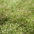 Gypsophila flowers - Stock Photo