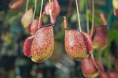 Nepenthes — Stock Photo