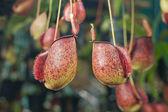 Nepenthes — Stockfoto