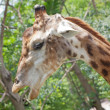 Close up shot of giraffe head — 图库照片