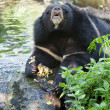 Asiatic black bear — Stock Photo