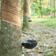 Rubber Plantation — Stock Photo