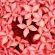 ixora coccinea — Stock Photo