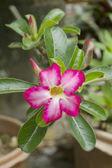 Pink impala lily — Stock Photo