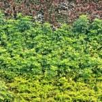 Vertical garden natural green leaf texture — Stock Photo