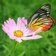 Plain Tiger butterfly feeding on cosmos flower — Stock Photo