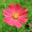 Close-up of Cosmos Flower — Stock Photo