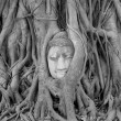 Buddha Head Statue in Banyan Tree, Thailand — Stock Photo