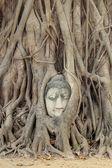 Estatua de buda la cabeza en la higuera, tailandia — Foto de Stock