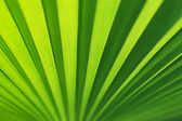 Lines and textures of Green Palm leaves — Stock Photo