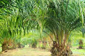 Oil Palm Plantation — Stock Photo