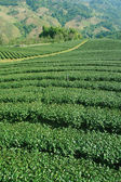 Tea plantations of northern Thailand — Stock Photo