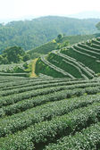 Tea plantations of northern Thailand — Stock Photo