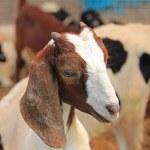 Little goats — Stock Photo #48790269