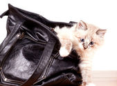 Little kitty gets out of the bag — Stock Photo