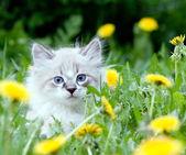 Small kitten sitting in the dandelions — Stock Photo