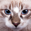 Young blue-eyed cat — Stock Photo