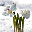 Flower under the snow, spring — Stock Photo
