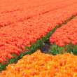 Foto de Stock  : Orange Tulip field