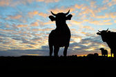Silhouette of Cows — Stock Photo