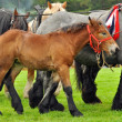 Brabancon Foal — Stock Photo