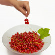 Picking Redcurrant berries — Stock Photo