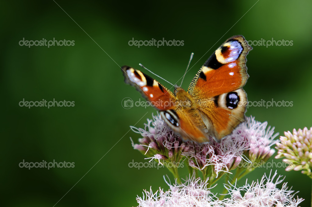 Peacock butterfly landed on a flower — Stock Photo #12071893