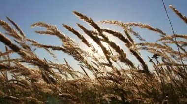 Prairie grass — Stock Video