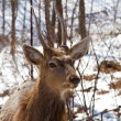 Stock Photo: Dappled deer
