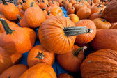 The Harvest of Pumpkins — Stock Photo