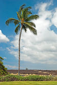 Palm tree in Kona on Big Island Hawaii with lava field in backgr — Stock Photo
