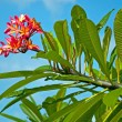 Foto Stock: Tropical hawaiiflower Plumeria