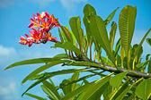 Tropical hawaiian flower Plumeria — Stock Photo