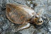 Big green turtle on Hawaii — Stock Photo