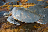Big green turtle on Hawaii — Foto Stock