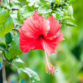 Beautiful view of red Hibiscus flower — Stock Photo