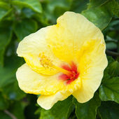Beautiful view of yellow Hibiscus flower — Stock Photo