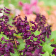 Maroon flowers in garden — Stock Photo #12315732
