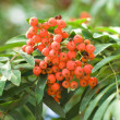 Rowan branches covered with beautiful red berries — Foto Stock