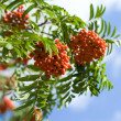 Rowan branches covered with beautiful red berries - Stock Photo