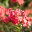 Stock Photo: Pink flowers in garden