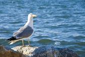 Gabbiano sulla riva del mar di marmara a istanbul — Foto Stock